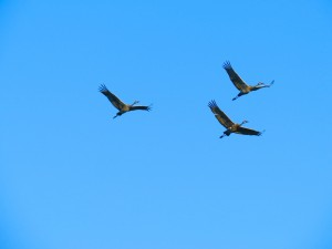 Sandhill Cranes In Air